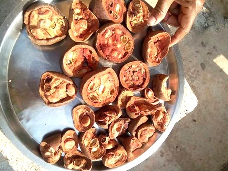 Rudravanti fal -Littoral bind weed- Cressa cretica Fruit